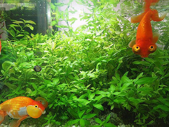 金魚 水槽 水草